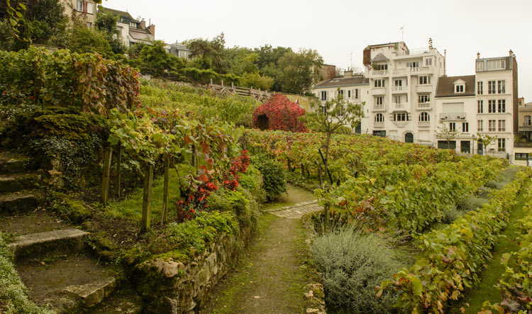 Last vineyard in Paris - Montmartre Hill